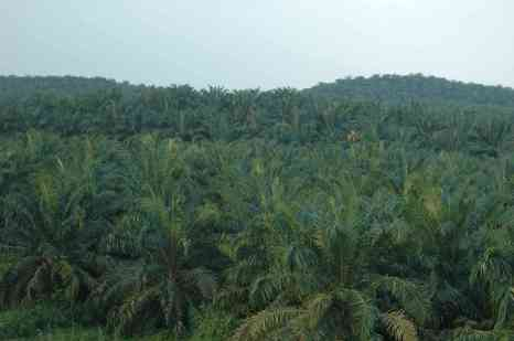 Malaysia is a massive exporter of palm oil
