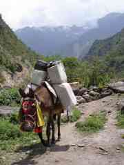 The mules are an essential part of mountain life