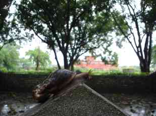 A snail with Maya Devi temple in the background