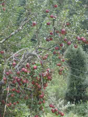 Apple season in Naggar