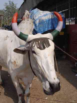 Team India had the holy cows on their side