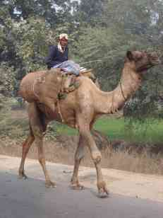A man and his camel on the GTR