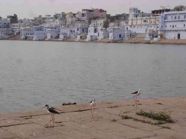Some lanky characters on the ghats of Pushkar Lake