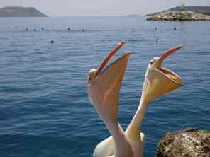 Pelicans in Kas